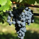 Colli Berici DOC uva