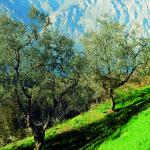 Olivi 1
