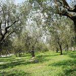 Olivi 2