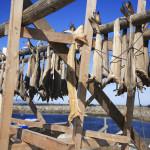 Baccalà appesi in essicazione