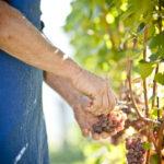 Cantina Tramin - Harvest