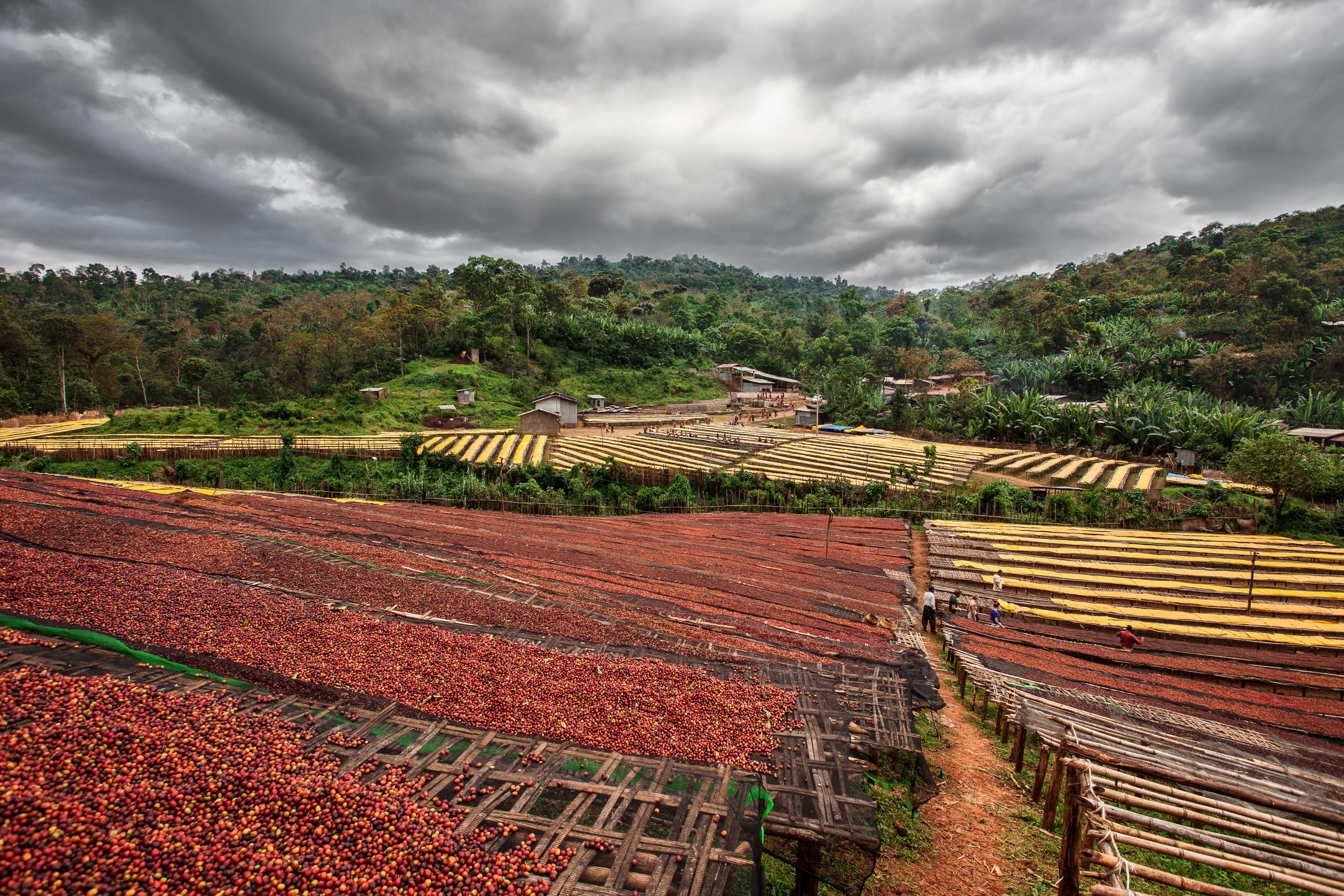 Piantagione Etiopia - Foto Carlo Fantinelli