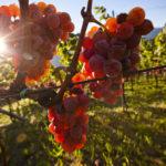 Cantina Tramin - Grapes