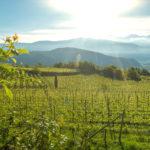 Epokale 2009_ Cantina Tramin_vineyard 1