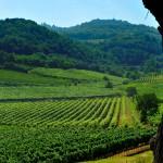 Colli Berici DOC vigne da albero