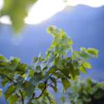 tramin_vineyards12_florianandergassen