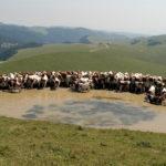MALGA LESSINIA , ALTOPIANO DELLA LESSINIA SOPRA ERBEZZO (VERONA) 29 Luglio 2004  Produzione del formaggio DOP Monte Veronese , bestiame all'alpeggio e immagini dell'altipiano © Franco Tanel/D-Day